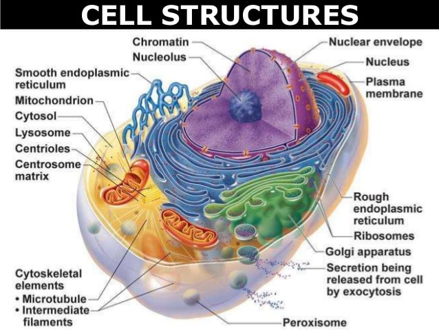 Structure and function of cell wall yahoo dating. play swimming anime dating sim beta.